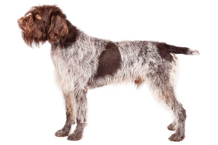 Wirehaired-Pointing-Griffon-pictures
